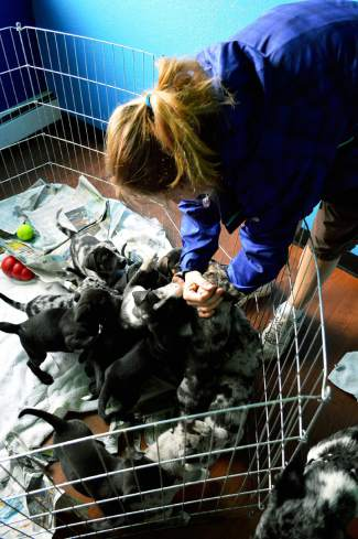 A volunteer plays with the puppies just before mealtime.