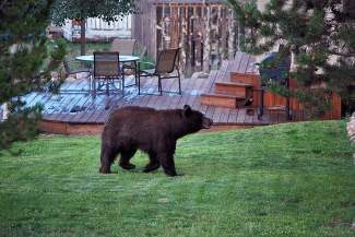 As fall approaches, bears in Summit County will begin to gorge themselves in preparation for hibernation. In an effort to minimize bear, people encounters the Breckenridge Police Department is reminding residents to dispose of their trash in proper receptacles.