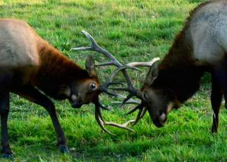 Two elks lock antlers during mating season. Know as