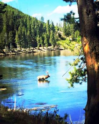 An elk makes its way through a local lake.