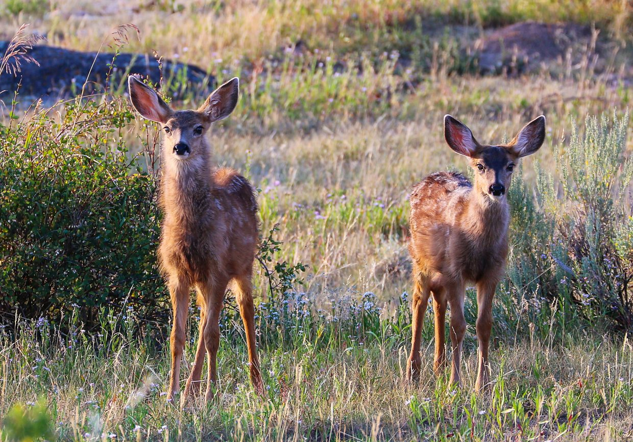 Deer at Heeney Road near Green Mountain Reservoir.