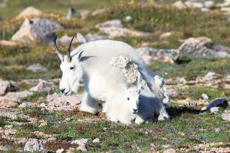 Mountain Goat At Mt. Evans