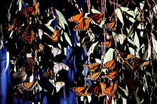 Monarch butterflies are threatened under current U.S. farming practices.