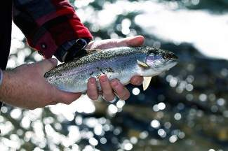 Rivers continue to offer some great open-water fishing, with most running low, clear and ice-free. If you fish them, be aware that you may encounter rainbows in spawning mode. If you do, please avoid fishing and/or wading redds; there's no need to undo what nature's trying to accomplish.