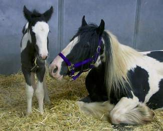 Isadora's foal is the newest addition to Swan Center Outreach Ranch.