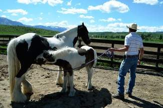 John Longhill stands nearby as the new foal nurses from her mother at the Swan Center Outreach ranch north of Silverthorne.