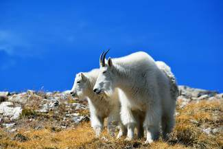 A young kid huddles close to a nanny mountain goat on the tundra-covered slope of Quandary Peak.