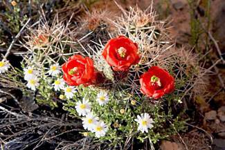 Cacti bloom beside the trail to Rattlesnake Canyon, sheltered by stunted pinon pine and juniper.