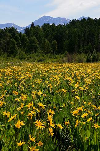 Arrowleaf balsamroot blooms in the foreground of the Ruby Mountain Range.