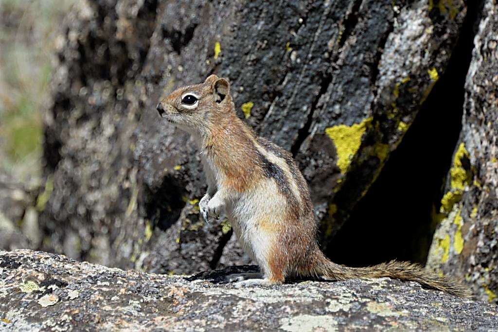 A curious ground squirrel searching for a meal investigates movement on the trail to Mount Yale (14,196 feet).