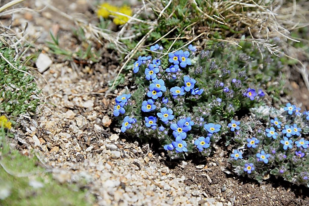 Blue alpine Forget-Me-Not blooms in the tundra of Mount Yale (14,196 feet).