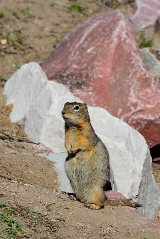 A Richardson's ground squirrel, a common inhabitant of the prairie within Florissant Fossil Beds.