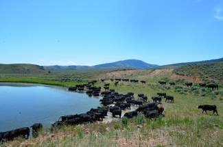 At the end of a hot, dusty cattle drive, black angus cows take a dip in a nearby pond to cool off.