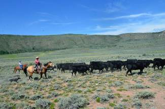 Rusty Spurr Ranch owner Han Smith and his dog Zoe drive the herd of black angus cows across the range. Smith mostly supervised during the drive, allowing particpants to take control and get into the thick of things.