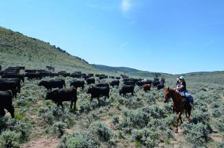 Writer Jessica Smith rides her trusty cow horse Scooter during a cattle drive at the Rusty Spurr Ranch, just south of Kremmling.