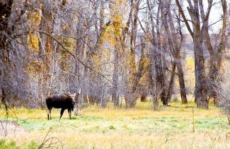 This bull was spotted in the Lower Blue River Valley north of Silverthorne earlier this month. Moose populations are strong in Colorado. However, scientists are alarmed at their fast decline in our parts of North America.