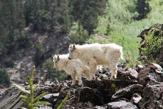 Two young mountain goats recently checked out the bike path by Officer¹s Gulch.