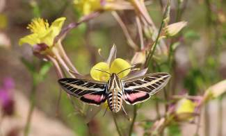 You never know what kind of tiny treasures you are going to see on a hike in Summit County. This white-lined sphinx moth was seen on the Highlands Upper Flume trail. These moths can be seen both during the day and night and often groups. They measure about 3.5 inches and can hover like a hummingbird.