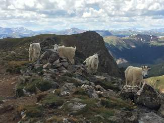 Scott and Isa Venvertloh of Denver spied a group of mountain goats atop Buffalo Mountain on July 23.