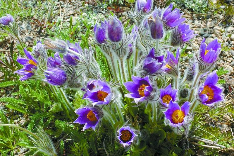 SUMMIT COUNTY U201d It Can Take A While For Spring To Unfurl Its Flowery Banner  In The High Country. May Snowstorms Arenu0027t All That Unusual, So Many Plant  ...