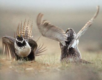 FILE - In this Friday, May 9, 2008 file photo, male sage grouse fight for the attention of female sage grouse on a mating ground, southwest of Rawlins, Wyo. Federal wildlife officials are readying to make a recommendation about pursuing endangered species status for sage grouse, a chicken-sized bird that lives in 11 states. (AP Photo/Rawlins Daily Times, Jerret Raffety) ** NO SALES **