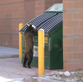 Colorado Division of WildlifeThe dumpster bear is from Glenwood Springs in 2007. The dumpster is at a mall that was built on top of a large swath of oak brush, which in past years would have provided natural food for the bears in the area.