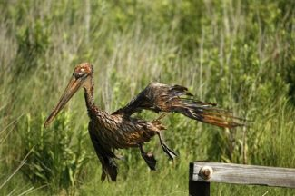 An oil-covered pelican tries unsuccessfully to fly off a post at Wilkerson Canal where it meets the north shore of Barataria Bay in Plaquemines Parish, La., Saturday, June 5, 2010. (AP Photo/Gerald Herbert)