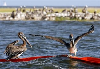 Brown pelicans try to balance on an oil boom near Martin Island in St. Bernard Parish, La., Wednesday, July 21, 2010. Crews found scores of dead birds and a number of live birds affected by oil from the Deepwater Horizon oil spill on Monday in the eastern part of the parish behind the Chandeleur Islands. (AP Photo/Patrick Semansky)