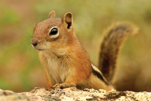 Chipmunks Or Ground Squirrels Putting An End To The Confusion Summitdaily