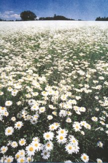 Special to the Daily Oxeye daisies, an invasive species, can take over from local flora quickly.