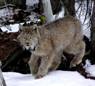 This January 2006 photo provided by the Colorado Division of Wildlife shows a lynx in the San Juan Mountains south of Creede, Colo.  Colorado wildlife officials are declaring victory in their 11-year effort to reintroduce lynx to the state. The Division of Wildlife said Friday Sept. 17, 2010 that the cats are reproducing faster than they're dying, a sign of a self-sustaining population. (AP Photo/Colorado Division of Wildlife)
