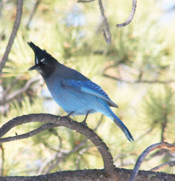 Summit Outside Stellers Jay Not Your Ordinay Blue Bird