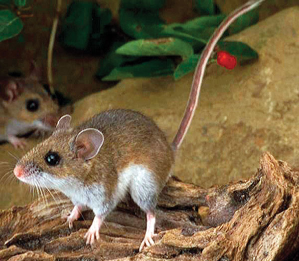 Summit Outside: Deer mice: cute but deadly | SummitDaily.com