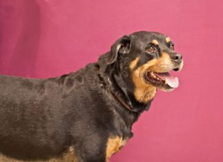 Special to the DailyMercedes is a 7-year-old female rottweiler. She is wonderful with adults, kids, dogs and cats. She has kidney disease and needs to be on prescription food, but can lead a full life. She is mellow and doesn't need a lot of exercise. Are you looking for a new best friend?