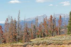 Daily file photo Bark beetles have affected more than 41.7 million acres of trees throughout the western United States, including 21.7 million acres of trees in the intermountain west alone.