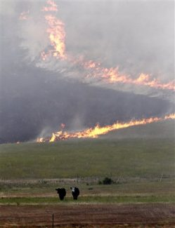 Cows stand in a pasture as a wildfire burns down a hillside behind Tuesday, Aug. 14, 2012, near Cle Elum, Wash. The fast-moving wildfire has burned 60 homes across nearly 40 square miles of central Washington grassland, timber and sagebrush. No injuries have been reported but more than 400 people have been forced to flee. (AP Photo/Elaine Thompson)