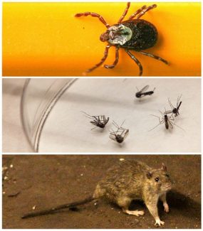 FILE - This photo combo shows, from top, a wood tick - or dog tick - clings to a pencil used for scale, in Springfield, Ill. on June 8, 2010,  mosquitoes are sorted at the Dallas County mosquito lab in Dallas on Aug. 16, 2012, and a rat wanders the subway tracks at Union Square in New York on June 15, 2010. Hantavirus, West Nile, Lyme disease and now, bubonic plague can be spread potentially by ticks, mosquitoes, and rats. (AP Photo/File)