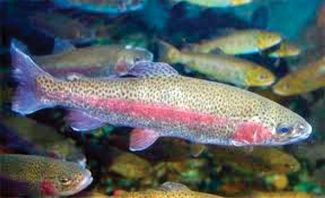 Special to the Daily/Joanne StolenWhile rainbow trout are not native to Colorado, the Colorado River rainbow trout is a wild strain that is a result of federal, state and private stocking in the early 1900s in Colorado.