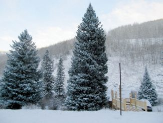 Special to the Daily/U.S. Forest ServiceThis year's Capitol Christmas Tree will be harvested today from the permit area of Ripple Creek Lodge in the Blanco Ranger District of the White River National Forest, and transported to Meeker for a kick off celebration. On Wednesday, the tree will make a stop in Dillon while en route to the U.S. Capitol.