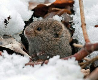 Special to the DailyThere are approximately 155 species of voles. They are sometimes known as meadow mice or field mice, but voles belong to the lemming family.