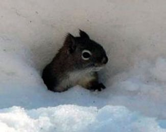 Special to the DailyA squirrel looks out from the subnivean zone in the snowpack.