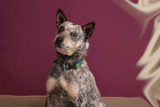 Special to the DailyDana is a 1 1/2-year-old spayed female blue heeler.  She is learning to walk better on a leash. She craves attention and will follow you around. Dana gets along well with other dogs.
