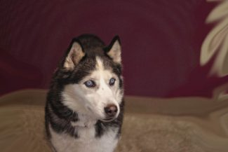 Special to the DailySpirit is a very sweet 9-year-old spayed female Husky. She has won over the staff's hearts with her wonderful personality. Spirit does have some health issues and is looking for a home that she can enjoy the rest of her days. Because Spirit needs special attention, the animal shelter has reduced her adoption fee.