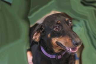 Special to the Daily/Michael YearoutThe pet of the week is Frankie. Frankie is a 6-year-old neutered male Dachshund. Confident, sweet and cuddly are words to describe him. Frankie is great with older children and other dogs. Frankie loves to go on walks