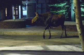 This cow moose was spotted Monday, March 10 in front of Silverthorne Town Hall. The moose and her calf have been seen all week roaming around town and in neighborhoods near the Blue River Trail.
