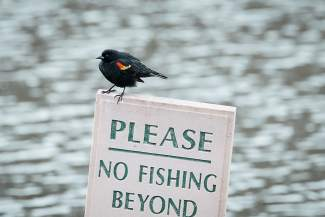 A Red-WInged Blackbird sits watch for fishermen at the Breckenridge Golf Course.