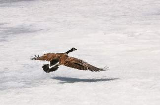 This goose was searching for some open water on April 11, but Lower Cataract Lake remains frozen for now.