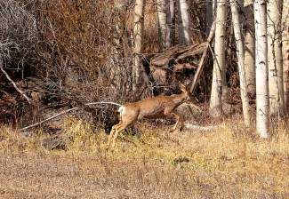 The local deer seem to be jumping for joy that spring has arrived!