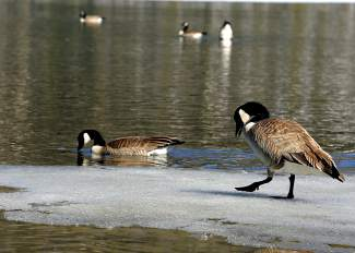 Ducks walk on thin ice at the south end of Dillon Reservoir recently.