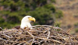 Mother Bald Eagle seems pretty entrenched now in a former Osprey nest just north of Silverthorne earlier this month.